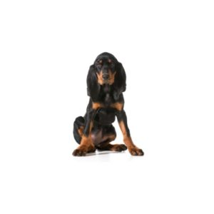Black and Tan Coonhound Puppies - Lancaster and Columbus, Ohio