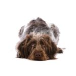 Petland Lancaster Ohio German Wirehaired Pointer