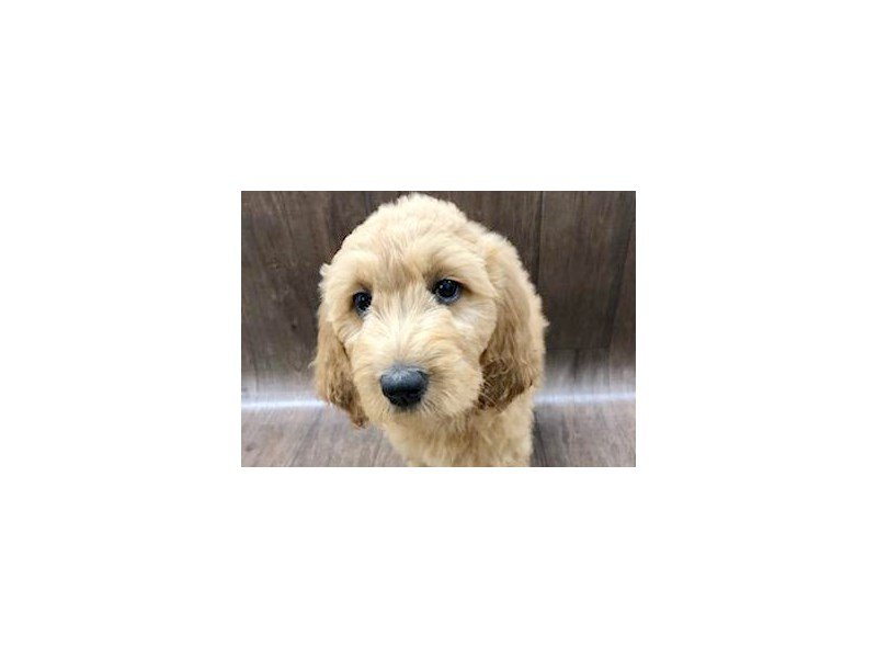 Goldendoodle Dog Female Dark Red 2396630 Petland Lancaster Ohio