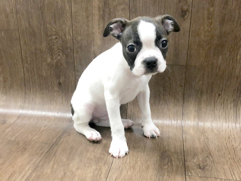 Boston Terrier Puppies - Visit Petland in Lancaster and