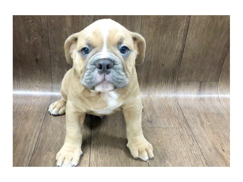 Old English Bulldog Dog Male Blue White 2414643 Petland