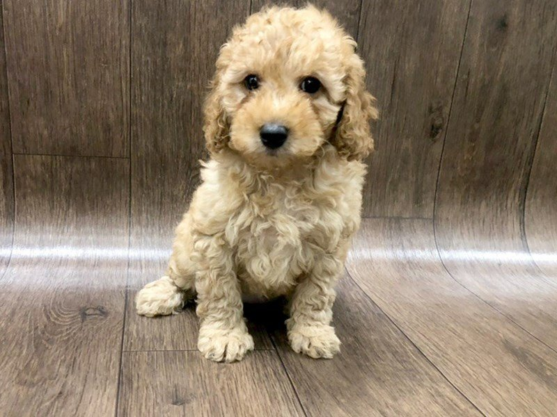 F2 Mini Goldendoodle Dog Female Golden 2450931 Petland