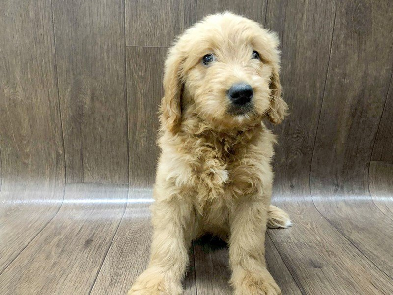 Goldendoodle Puppies Petland Lancaster Ohio